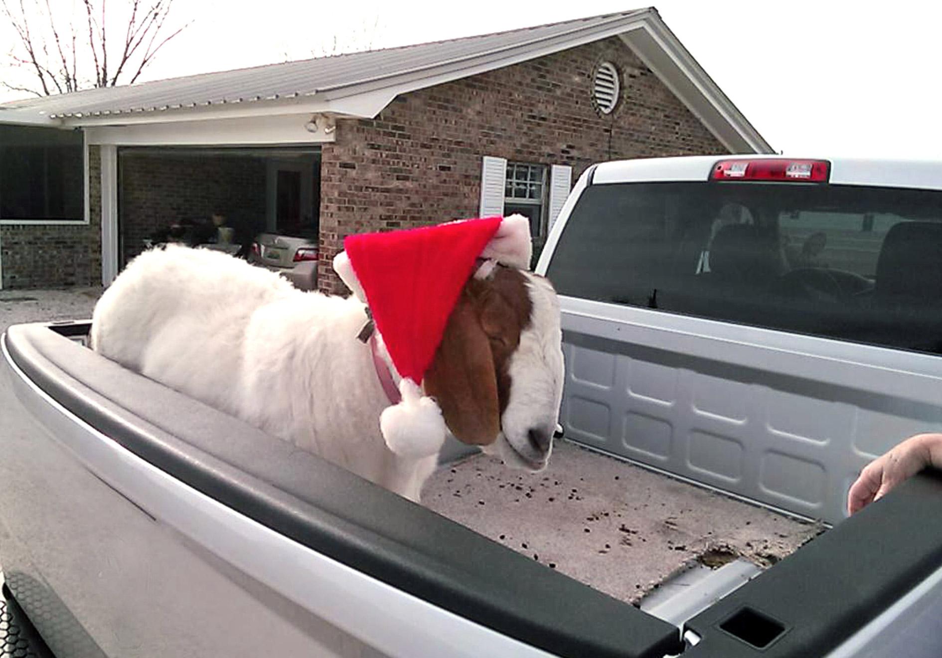 Goat in Truck